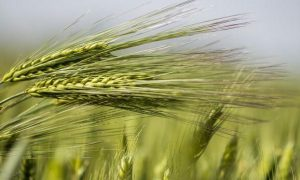 上海郊区种植的大麦品种主要有哪些?