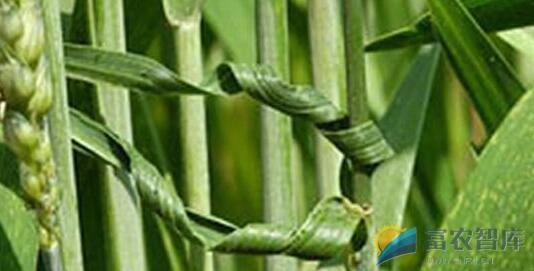 小麦叶片卷曲的原因是什么?