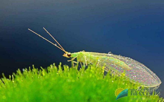 怎样识别和保护蚜虫的天敌?